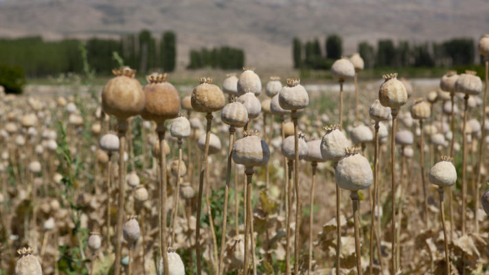 Dry opium poppy field